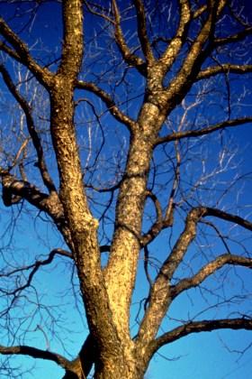 Carya illinoiensis bark H
