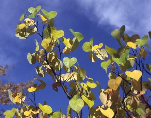 Cercis canadensis autumn leaves
