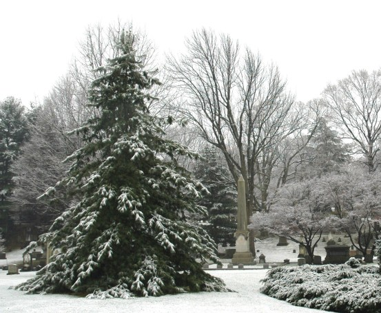 Conifers in the Snow