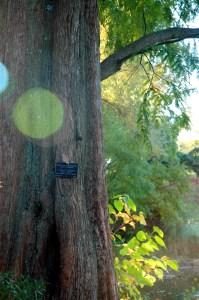 dawn-redwood-2