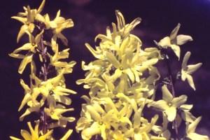 Forsythia viridissima fl