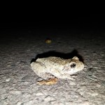 Gray treefrog, Photo by Andrew Rotch