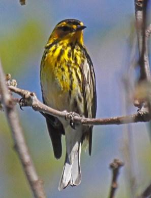 Cape May Warbler by John Harrison