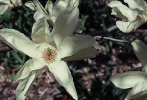 "Magnolia 'Elizabeth"""