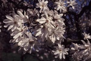 Magnolia stellata, star magnolia