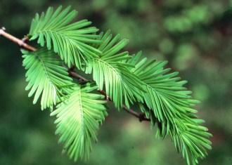 metasequoia-glyptosroboides-leaves