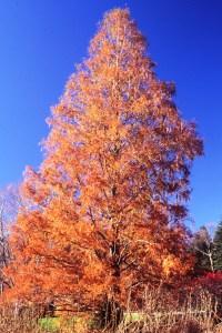 metasequoia-glyptostroboides-autumn-habit