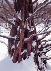 metasequoia-glyptostroboides-bark-with-snow