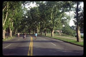 Platanus x acerifolia Memorial Drive