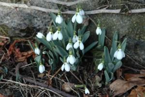 Galanthus nivalis, snowdrops