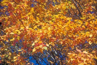 Sorbus alnifolia fr lvs fall