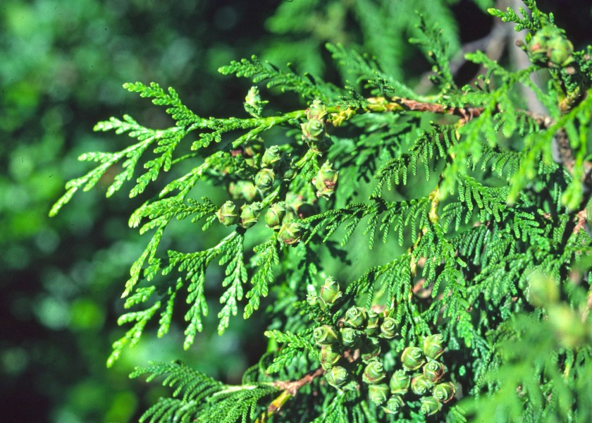 thuja-plicata-leaves-cones