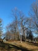 entire tree Betula (2)