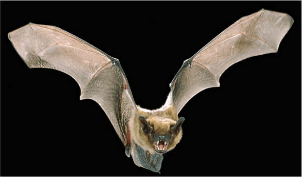 Bats cannot see and are blind
