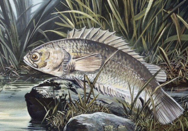 UNSPECIFIED - JUNE 15: Climbing Perch (Anabas testudineus), Anabantidae, drawing. (Photo by DeAgostini/Getty Images)