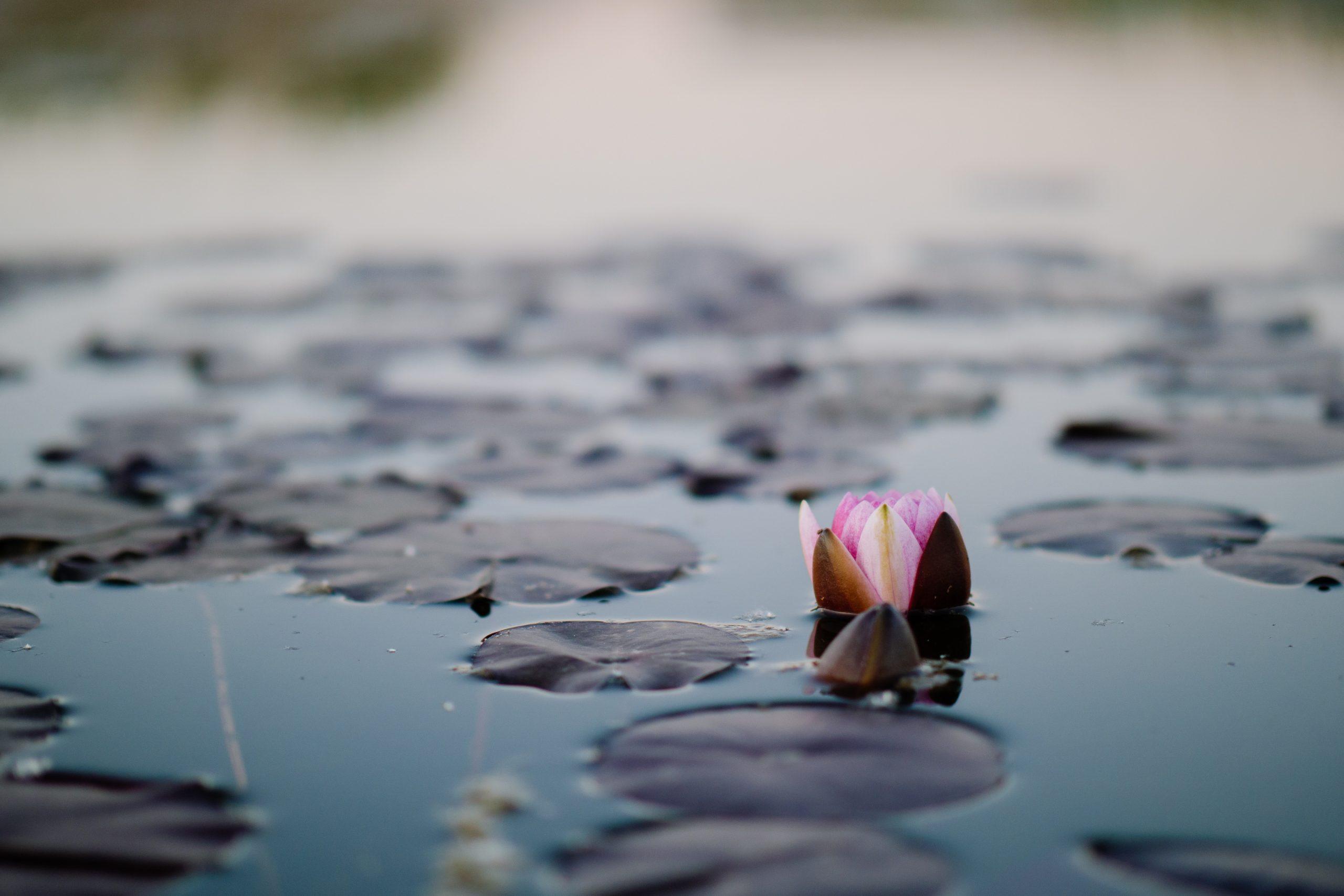 pink lotus flowers on pond