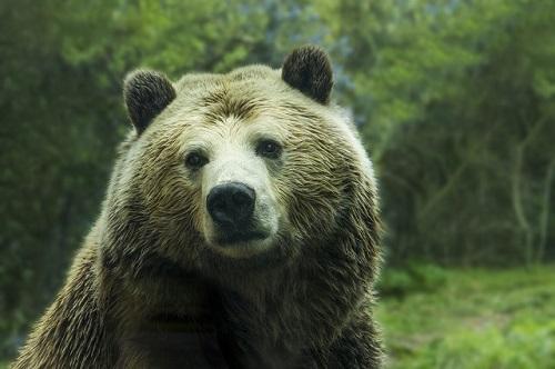 Pourquoi les ours ne seront jamais des leaders