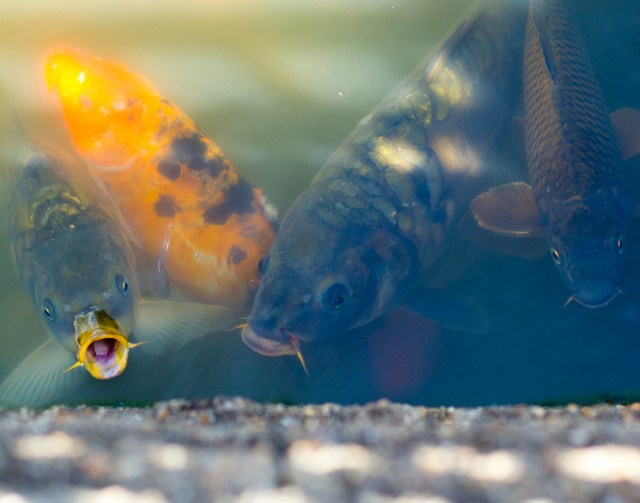 coy fish are needy