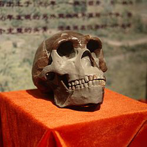 Pekin_Man_Skull_(replica)_presented_at_Paleozoological_Museum_of_China