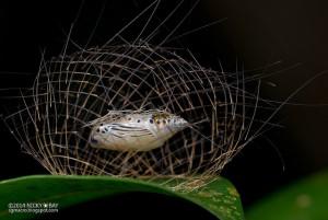 Mariposa Cyana em estagio de pupa