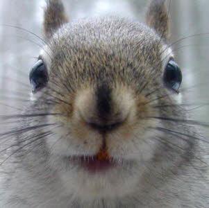 Veronica squirrel