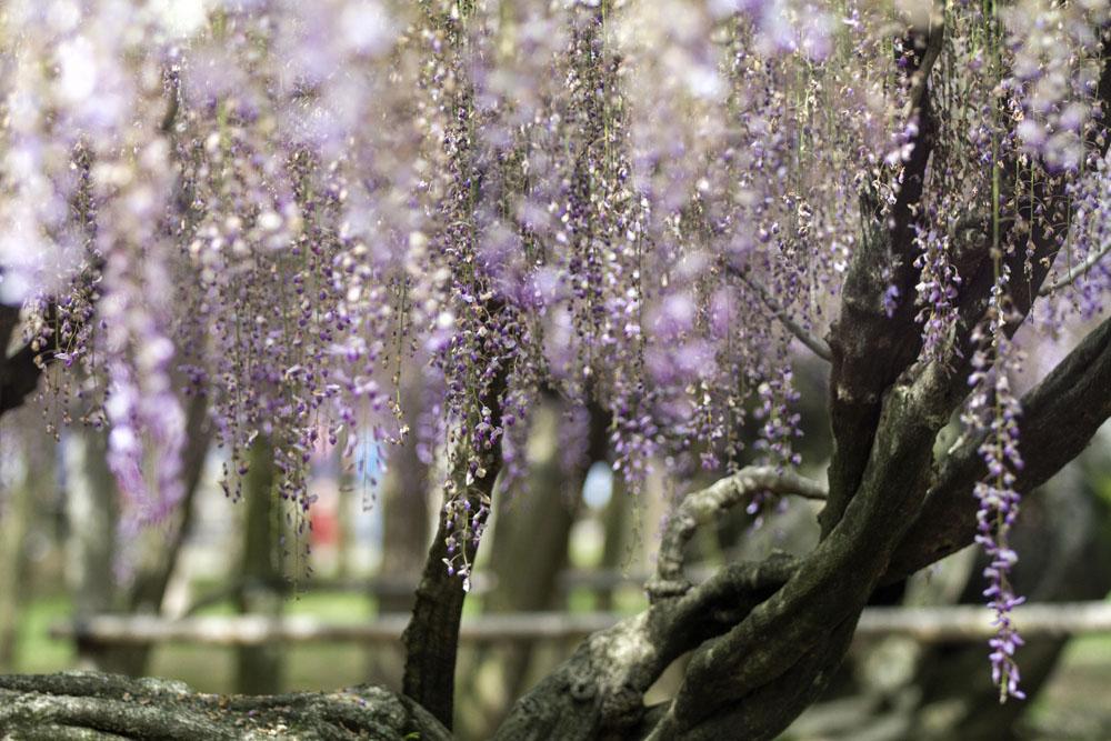 Kawachi Fuji Garden, Japan