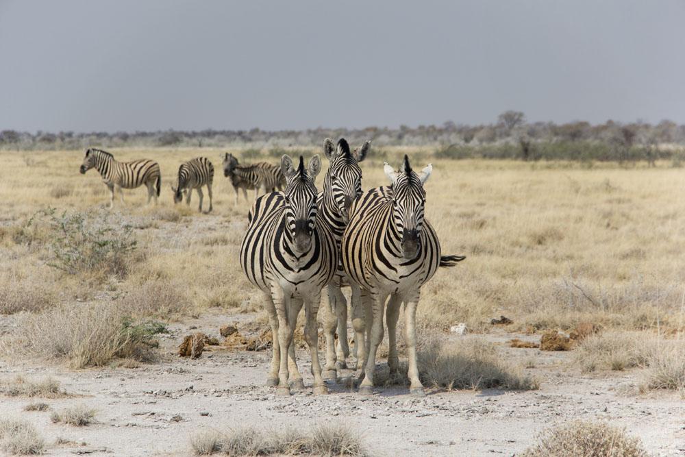 Zebras at Etosha National Park, Namibia