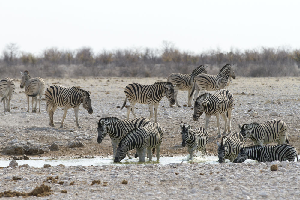 Zebras at Etosha National Park, Namibia