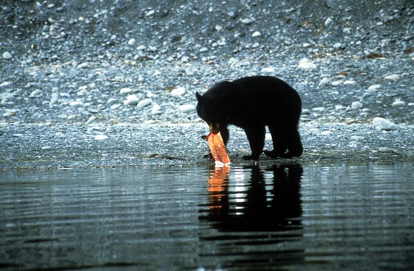 Zwarte beer vangt zalm