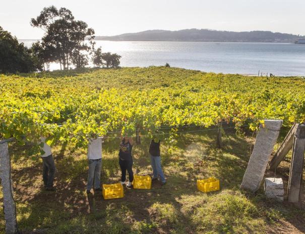 Rias_Baixas_vineyards_by_the_sea