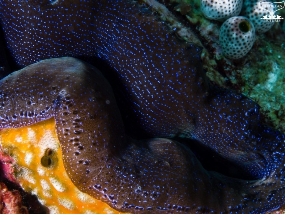 Photographing Art by nature: Underwater close-up of clam in darb brown with iridescent blue spots covering the whole curved mantle yellow sponge over side and tunicates at top end