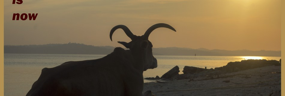 Postcard Warm regards from Devocean Pictures: Cow resting on the beach in Long Island, Andaman Islands in India, looking towards the sea where the sun is setting. Text: the time is now.