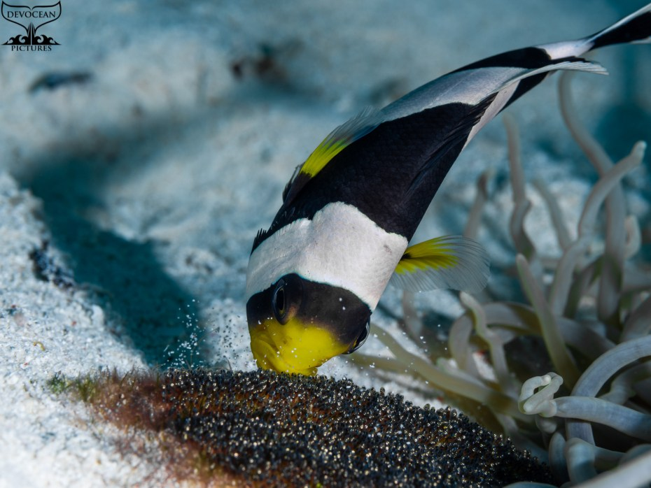 As an ode to reef life: Underwater behaviour shot showing parental care of Saddleback Anenomefish (Amphiprion polymnus) is doing by keeping the eggs clear of sediments.