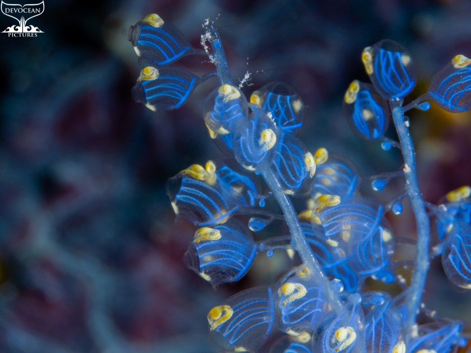 As an ode to reef life: Underwater macro shot of Namei Tunicate (Blue Bell Sea Squirt / Perophora namei)in blue and yellow with tiny skeleton shrimps before background with blue-purple pattern.