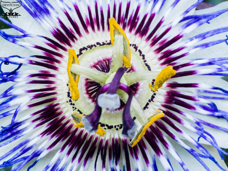 Art by nature from Devoecean Pictures: Close up of a Passionflower