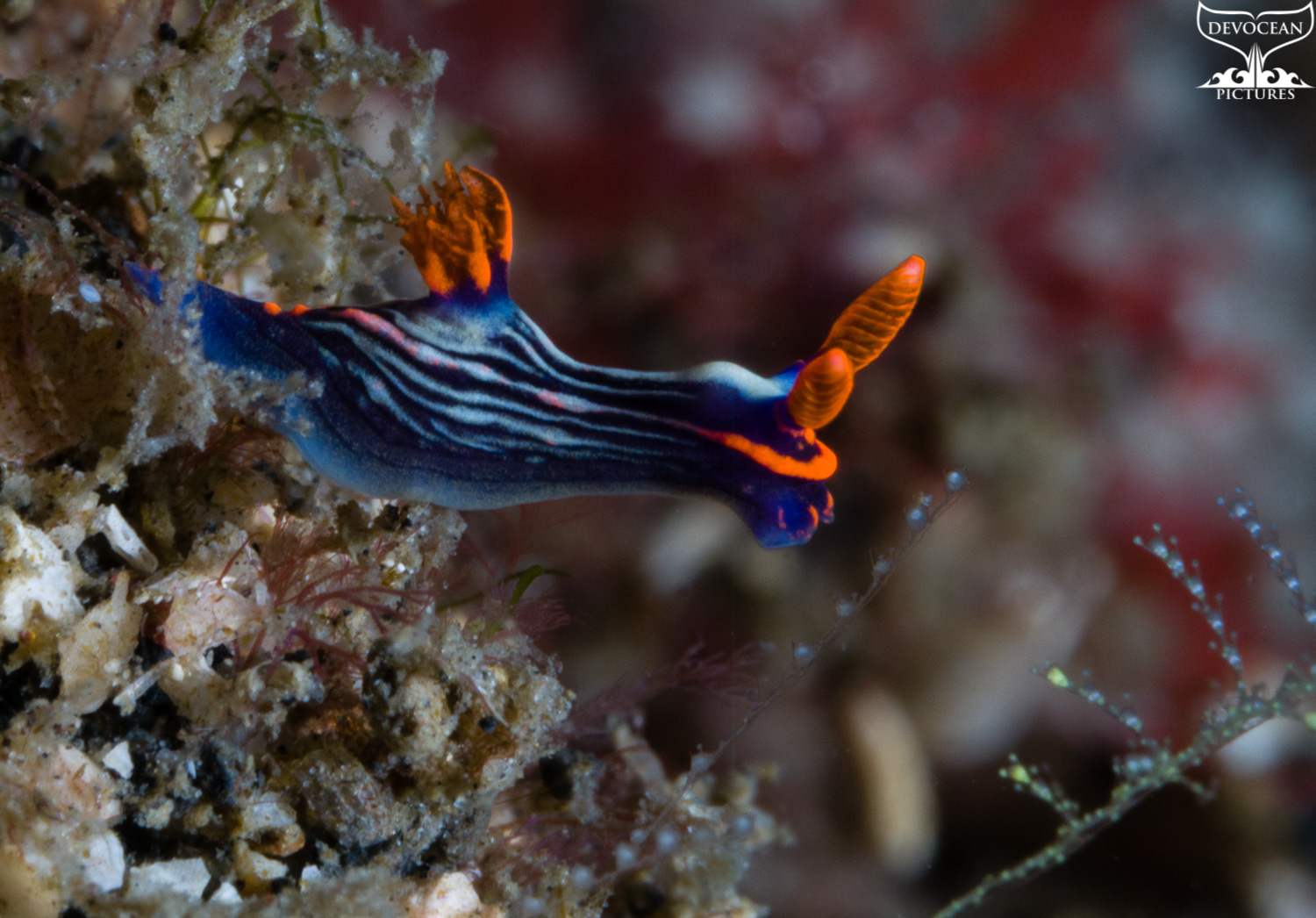 Underwater macro shot of Nembrotha kubaryana in Lembeh (Indonesia). This nudibranch (blue-green body with black stripes, bright red rhinophores and gills) lifts off the ground to determine the way to go.