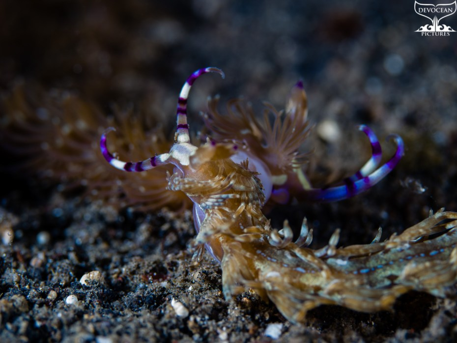 Underwater macro shot of two Pteraeolidia ianthina meeting each other in the dark sand of Lembeh (Indonesia). Aeolid nudibranch with striped cerata (brownish, white and bluish). Rhinophores very elongated with purple and whitish stripes.