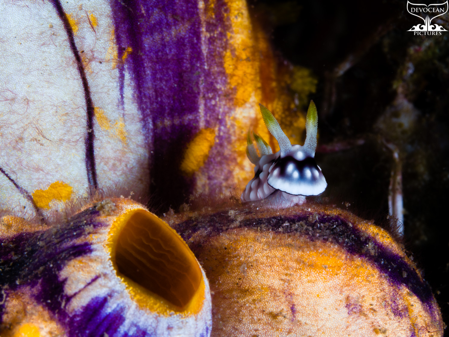 Underwater macro shot of Goniobranchus geometricus (black and white with little blue-grey and yellow tips of rhinophores and gills) lifting its head while sitting on a solitary tunicate in orange, purple and white.