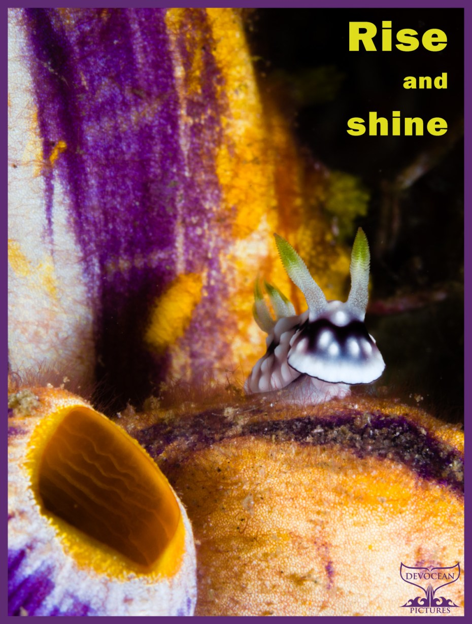 Postcard with Warm Regards from Devocean Pictures. Text: Rise and shine. Picture crop of underwater macro shot of Goniobranchus geometricus (black and white with little blue-grey and yellow tips of rhinophores and gills) lifting its head while sitting on a solitary tunicate in orange, purple and white.