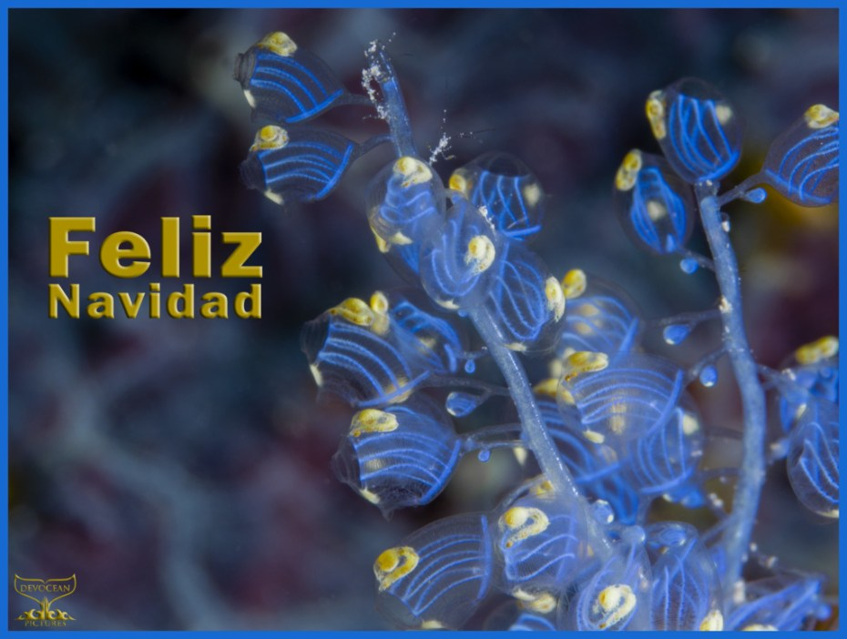Christmas card with warm regards from Devocean Pictures: Underwater macro shot of Namei Tunicate (Blue Bell Sea Squirt / Perophora namei) in blue and yellow with tiny skeleton shrimps before background with blue-purple pattern. Text: Feliz Navidad.