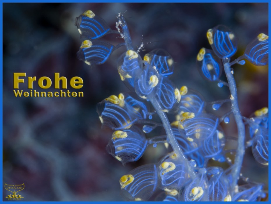 Christmas card with warm regards from Devocean Pictures: Underwater macro shot of Namei Tunicate (Blue Bell Sea Squirt / Perophora namei) in blue and yellow with tiny skeleton shrimps before background with blue-purple pattern. Text: Frohe Weihnachten.