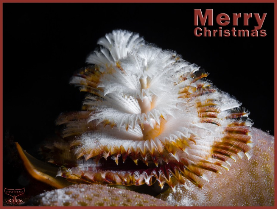 Christmas card with warm regards from Devocean Pictures: Underwater marco shot of two Christmas Tree Worms (Spirobranchus giganteus) right behind each other sticking out of a hard coral (brown and white before black background). Text: Merry Christmas.