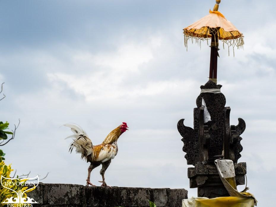 Der Hahn der Nachbarn steht auf der Gartenmauer beim kleinen Tempel und wirft sich in die Brust um zu krähen.