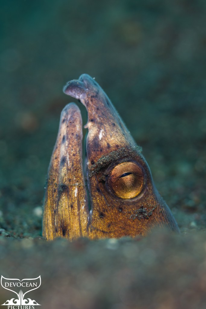 Macro: Underwater close-up of the head of a snake eel stiking out of the brown sand in Amed, Bali (Indonesia). The eye is golden with a slender dark pupile, the mouth is slightly open and the nostrils protruding. Greenish to brown body with dark speckles towards the nostrils turning into white-grey.