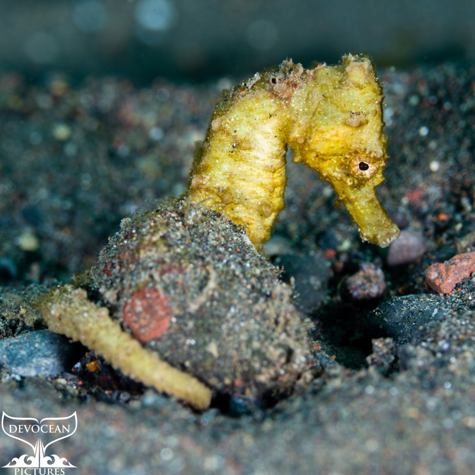 Underwater macro shot: side profile of a yellow seahorse holding onto a small rock on the sandy ocean floor in Amed (Bali).