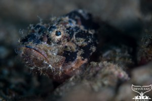 Underwater close-up of Juvenile Devil Scorpionfish (Scorpaenopsis diabolus) showing head with the mouth slightly open. The body is covered in skin flaps and filaments as camouflage, one part is even growing over the pupil to conceal the outline of the eye. Dark brown colour with shades of beige, white and red. Picture taken in Lembeh, Indonesia, in January 2019.