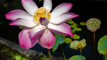 Lotus flower with yellow pistil and white leaves turning punk towards the edges. It's growing up from a dark pond with green leaves covering the surface.