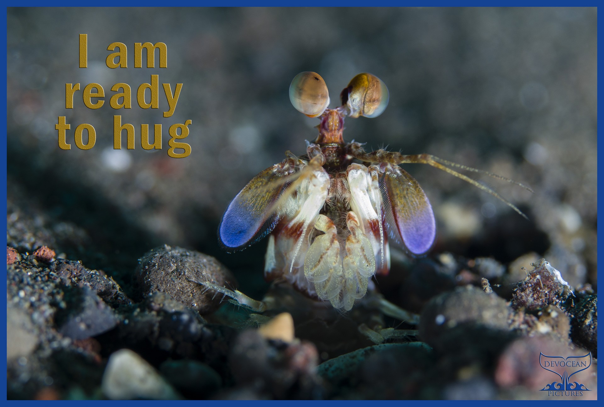 """Juvenile purple-blotched mantis shrimp (Odontodactylus latirostris) is waiting for prey to come within striking distance. Golden eyes on stalks in three layers with greenish hue, purple on paddle flaps and white body with some red lines. Prepared as postcard """"I am ready to hug"""" and logo of Devocean Pictures."""