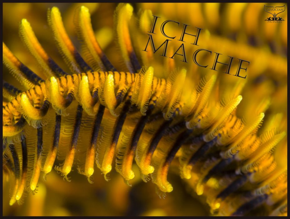 "Underwater close-up of the arm of a crinoid / feather star in yellow with orange in the tips of each feathery tentacle and black towards the arm itself. Prepared as postcard ""Ich mache"" and logo of Devocean Pictures."