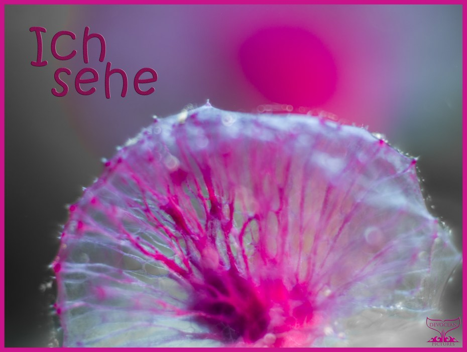 """Underwater close-up of pink puff ball sponge (Oceanapia sagittaria), a small sponge growing on a stalk forming a round, semi-transparent pink ball, almost like a flower, second one as blur behind. Prepared as postcard """"Ich sehe"""" and logo of Devocean Pictures"""